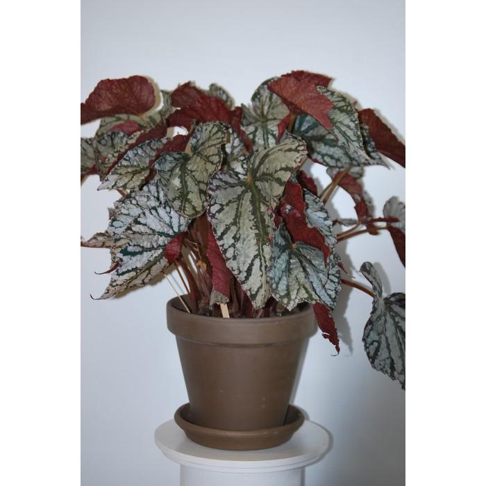 Plante Bégonia Rex