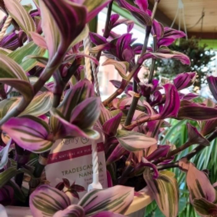 Plante Tradescantia
