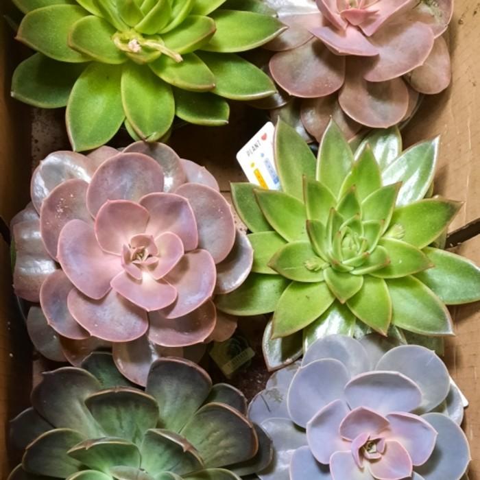 Plante Succulente
